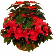 Poinsettia in large basket