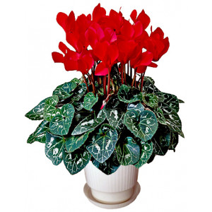 Cyclamen red - House plant