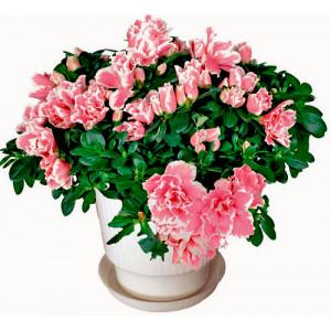 Azalea  - House plant
