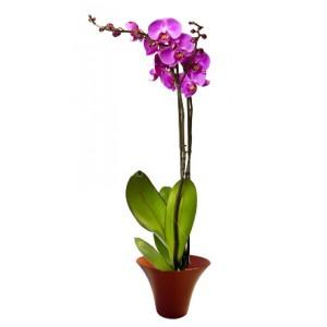 Purple Orchid - House plants