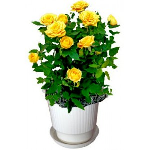 Yellow rose bush - House plant