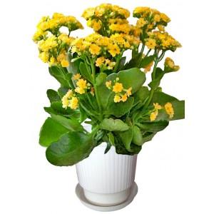 Yellow Kalanchoe - House plant