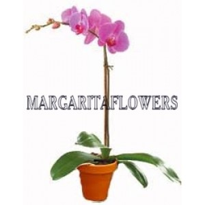 Pink Orchid - House plants