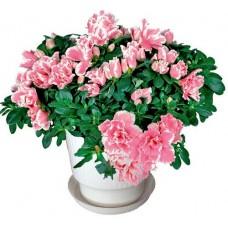 Азалия - Саксийни растения