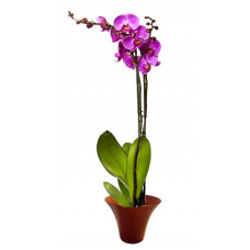 Purple Orchid - House plants
