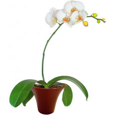 White Orchid - House plants