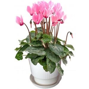 Циклама розова - Саксийни растения