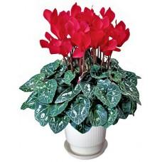 Циклама червена - Саксийни растения