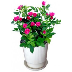 Red rose bush - House plant