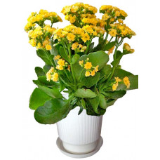 Yellow Kalanchoe - House plant