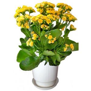 Каланхое жълто - Саксийни растения