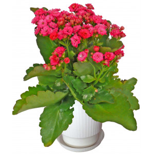 Каланхое червено - Саксийни растения