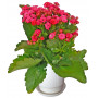 Red Kalanchoe - House plant