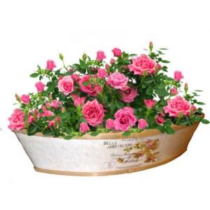 Касиди - рози в жардинера